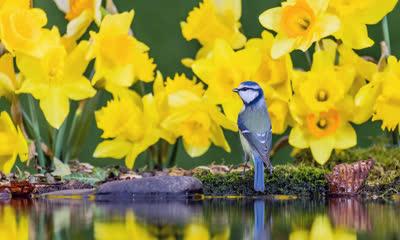 威尔士中部水仙花中的蓝山雀