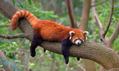 四川成都熊猫基地的小熊猫