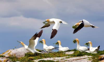 大萨尔提岛上的北方塘鹅