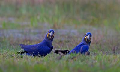 潘塔纳尔湿地的风信子金刚鹦鹉