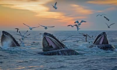 出现在马萨诸塞州海岸附近的座头鲸