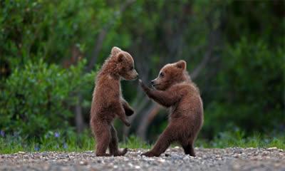 在迪纳利国家公园中玩耍的灰熊幼崽