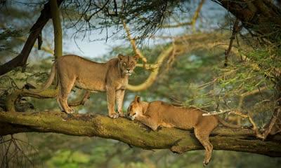 纳库鲁湖周围森林中的两只母狮子