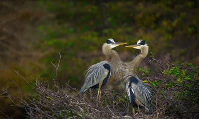 德拉海滩Wakodahatchee湿地的大蓝鹭