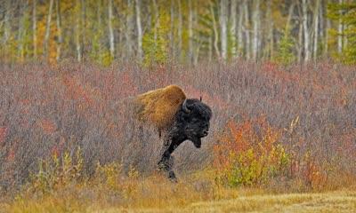 加拿大西北部的一头美洲野牛